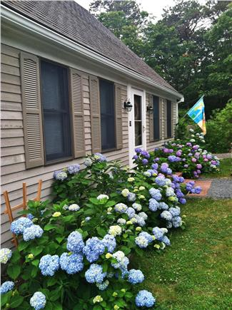 Eastham Cape Cod vacation rental - Hydrangeas and flowers all summer long