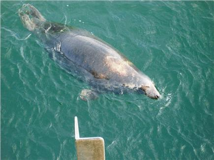 Chatham Cape Cod vacation rental - Watch for the Seals While Walking the Beach or at the Fish Pier!
