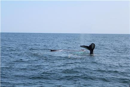Harwich Cape Cod vacation rental - Who doesn't want to see a whale while on the Cape!