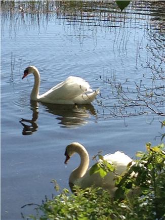 Hyannis Cape Cod vacation rental - Wild life on Facett's Pond