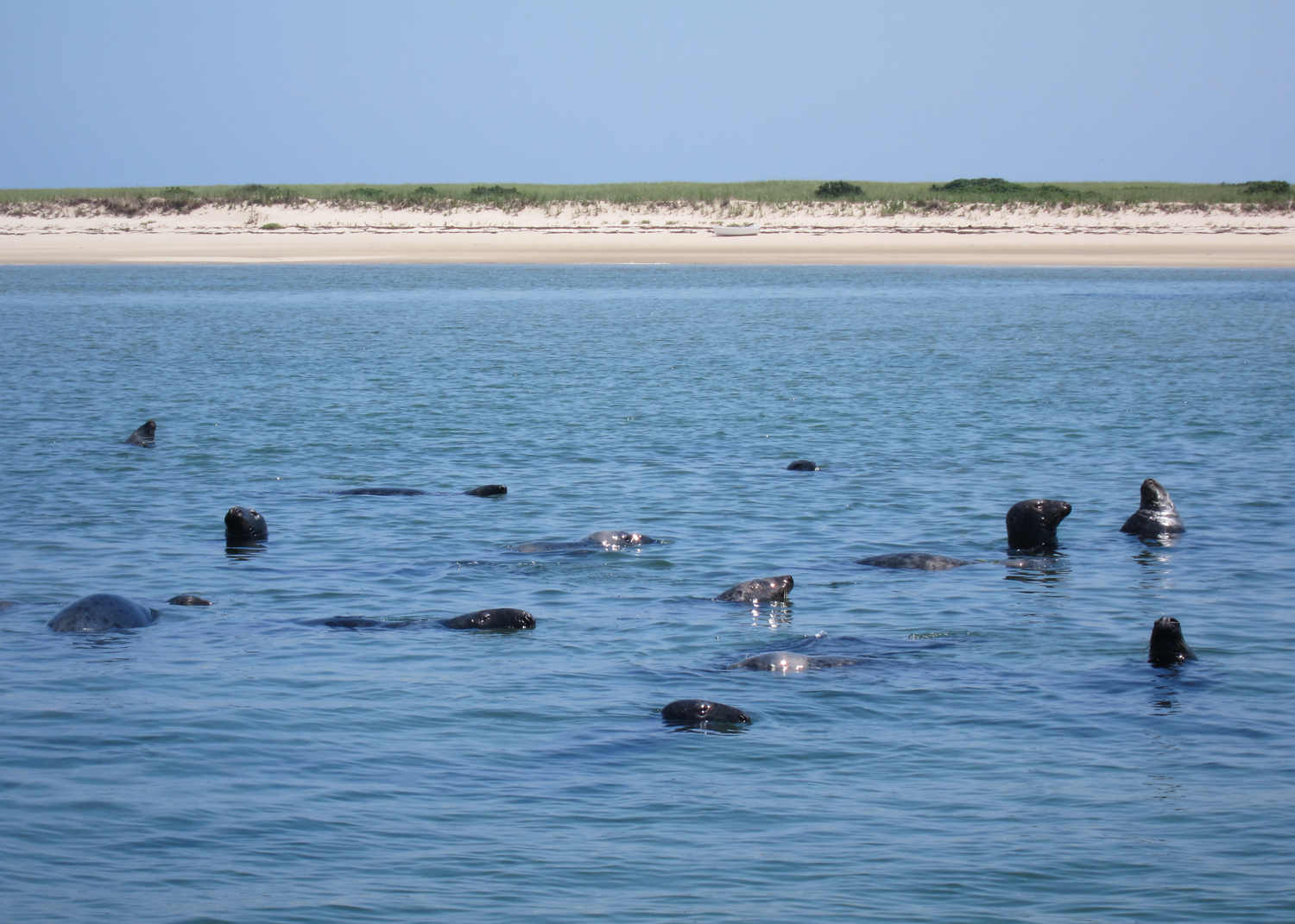 Over the years, the seal population in the waters off Cape Cod has increased dramatically, thus attracting some of the Cape's most notorious visitors - sharks!