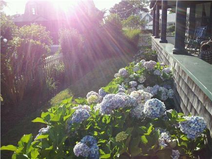 Siasconset, Nantucket Nantucket vacation rental - Hydrangea around porch